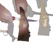 Front leg cut (option 1): Run your fingers up from the hoof along the outside of the leg to feel for top of the first bump or ridge at the joint. Cut through the skin at the top of this ridge, cutting round the leg from the outside to the inside to expose the joint and cut through.