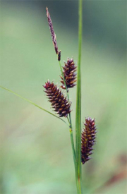 Scorched alpine-sedge