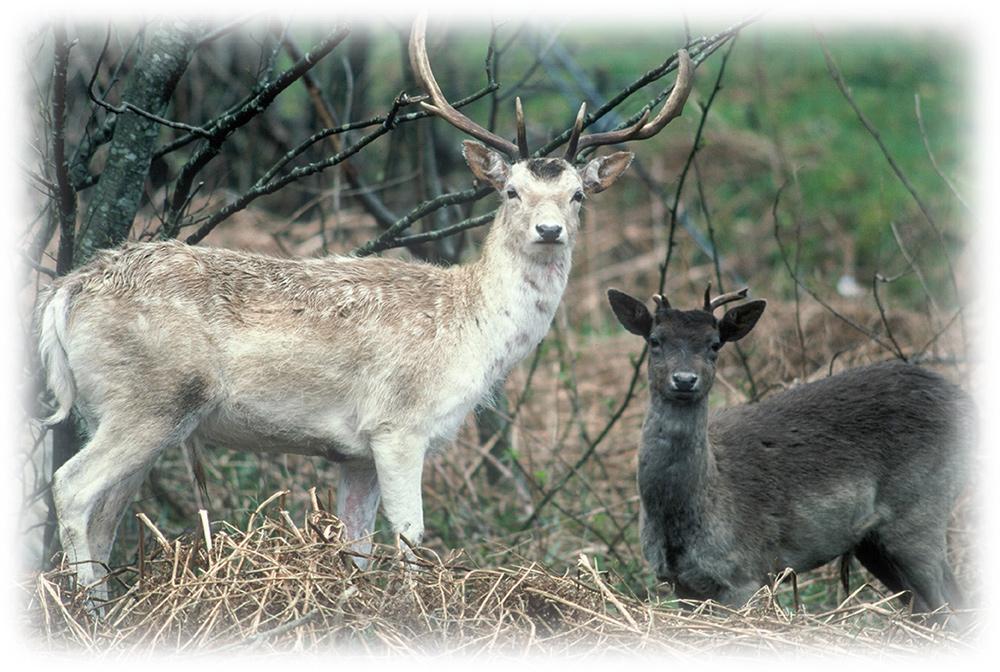 fallow deer best practice guidance